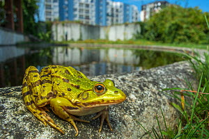 European edible frog (Rana esculenta) in urban park, next to pond with buildings behind, Grenoble, France, May.  -  Laurent Geslin
