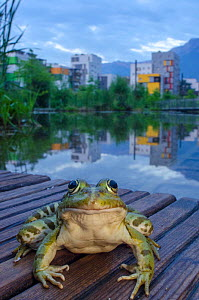 European edible frog (Rana esculenta) in urban park, next to pond with buildings in distance, Grenoble, France, May.  -  Laurent Geslin