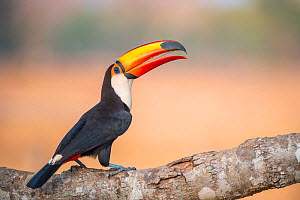 Toco Toucan (Ramphastos toco), Pantanal, Mato Grosso State, Western Brazil.  -  Laurent Geslin