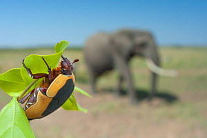 Fruit beetle (Pachnoda) on leaf, with African elephant (Loxonta africana) in distance, Masai Mara, Kenya. - Laurent Geslin