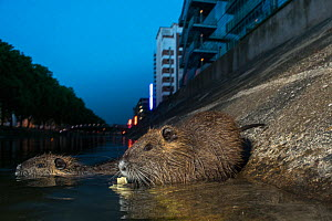 Coypu (Myocastor coypus) in river, Strasbourg, France. June. Introduced species. - Laurent Geslin