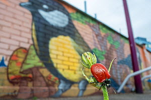 Broad-shouldered leaf beetle (Melasoma populi) in the city  in front of  urban mural painting of a Great tit, Strasbourg, France. May 2014.  -  Laurent Geslin