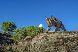 Wild Iberian lynx (Lynx pardinus) photographed with camera trap. Andalusia, Spain. - Laurent Geslin