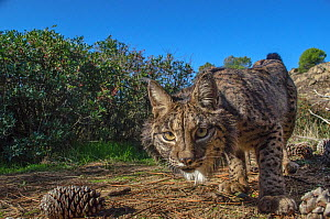 Iberian lynx (Lynx pardinus) photographed with camera traps in Andalusia, Spain. - Laurent Geslin