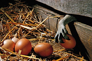 Paw of Raccoon (Procyon lotor) stealing hen egg from chicken coop. Introduced species. Germany.  -  Ingo Bartussek
