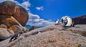 African penguins (Spheniscus demersus) preening themselves on rocks at the Boulders Beach colony near Cape Town, South Africa. - Neil Aldridge