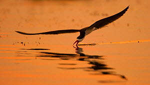 African skimmer (Rynchops flavirostris) flying low over the Chobe River,  skimming the water, at sunset, Chobe National Park, Botswana. - Neil Aldridge