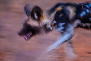 African wild dog (Lycaon pictus) blurred motion photograph, Save Valley Conservancy, Zimbabwe. - Neil Aldridge