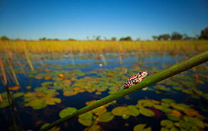 Angolan reed frog (Hyperolius parallelus) resting on a reed stem in the heart of the Okavango Delta, northern Botswana. - Neil Aldridge
