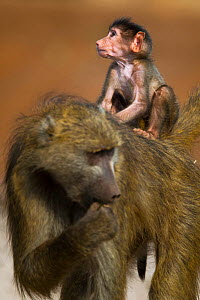 Chacma baboon (Papio ursinus) baby riding on top of its mother on the banks of the Chobe River, Chobe National Park, Botswana. - Neil Aldridge