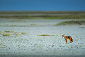 Black-backed jackal (Canis mesomelas) standing in the middle of the vast Makgadikgadi Pans, Botswana.  -  Neil Aldridge
