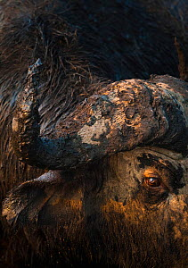 Mud-covered face of bull African buffalo (Syncerus caffer) with a cateract in one eye, on the banks of the Chobe River, Chobe National Park, Botswana.  -  Neil Aldridge