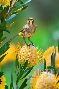Cape sugarbird (Promerops cafer) on Pincushion protea (Leucospermum sp) in the Cape Floral Kingdom, Cape Town, South Africa. Endemic. - Neil Aldridge