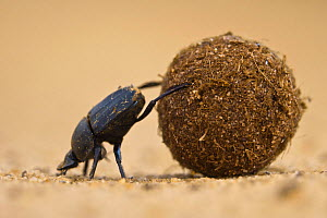 Dung beetle (Scarabaeidae) pushing ball of dung on Venetia Limpopo Reserve, Limpopo Province, South Africa. - Neil Aldridge