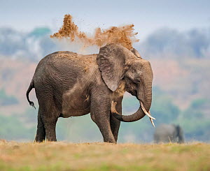 African elephant (Loxodonta africana) dust bathing on floodplains, Chobe River, Botswana. Vulnerable species.  -  Neil Aldridge
