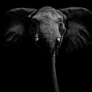 Portrait of an African elephant (Loxodonta africana) on Selinda Reserve, Botswana. - Neil Aldridge