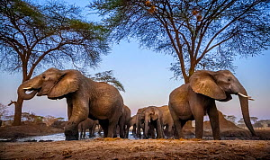 African elephants (Loxodonta africana) drinking in low evening light at a waterhole, Chobe District, Botswana. Vulnerable species.  -  Neil Aldridge