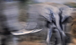 African elephants (Loxodonta africana) herd approaching a waterhole on Northern Tuli Game Reserve, Botswana. Vulnerable species. - Neil Aldridge