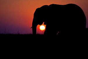 African elephant (Loxodonta africana) walking  in front of a setting sun on floodplains lining the Chobe River, northern Botswana. Vulnerable species.  -  Neil Aldridge