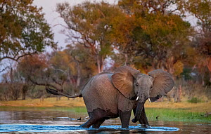 African elephant (Loxodonta africana) crosses the Selinda Spillway, northern Botswana. Vulnerable. - Neil Aldridge