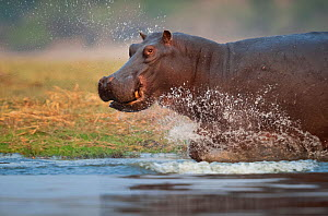 Hippopotamus (Hippopotamus amphibius) charging through the shallows, Chobe River, Chobe National Park, Botswana. Vulnerable species. - Neil Aldridge