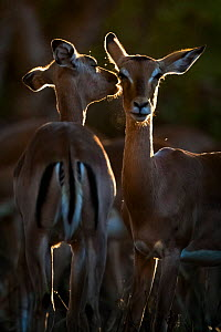 Two Impalas (Aepyceros melampus) ewes grooming each other in evening light on South Africa's Kruger National Park.  -  Neil Aldridge