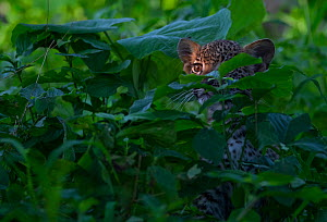 Leopard (Panthera pardus) cub peering out from thick vegetation in the heart of Chief's Island, Okavango Delta. Botswana  -  Neil Aldridge
