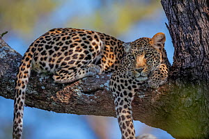 Leopard (Panthera pardus) female resting on the branch of a tree in the heart of Chief's Island, Okavango Delta, Botswana. Vulnerable species. The leopard is classified as vulnerable by the IUCN and i... - Neil Aldridge