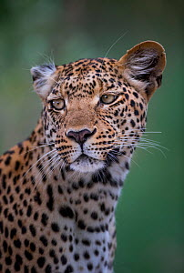 Portrait of a female Leopard (Panthera pardus) on Chief's Island, Okavango Delta, Botswana. Vulnerable species.  -  Neil Aldridge