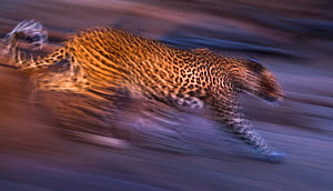 Leopard (Panthera pardus) charging down a dry riverbank during an evening hunt, Northern Tuli Game Reserve, Botswana. November.  -  Neil Aldridge