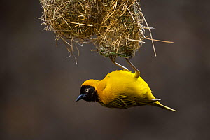 Lesser masked weaver (Ploceus intermedius) male hanging upside down from the entrance, Northern Tuli Game Reserve, Botswana. - Neil Aldridge
