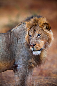 African lion (Panthera leo) male glancing over its shoulder on Northern Tuli Game Reserve, Botswana. Vulnerable species. This lion was shot illegally by South African farmers shortly after the photogr...  -  Neil Aldridge