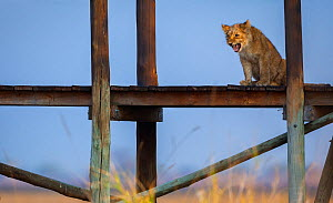Lion cub (Panthera leo) calling to its mother from the raised deck of a tourist lodge in the middle of the Busanga Plains, Kafue National Park, Zambia. Vulnerable species.  -  Neil Aldridge