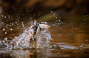 Pied kingfisher (Ceryle rudis) erupts from the water after an unsuccessful dive into the Chobe River, Chobe National Park, Botswana.  -  Neil Aldridge