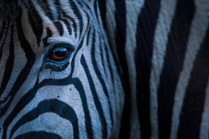 Plain's zebra (Equus quagga)  close up of face, Kariega Game Reserve. South Africa. - Neil Aldridge