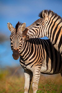 Plain's zebra (Equus quagga) biting the neck of a rival during a fight Hluhluwe imfolozi Park. South Africa.  -  Neil Aldridge