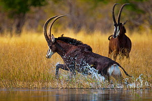 Sable antelope (Hippotragus niger) bull charging through the shallows of the Selinda Spillway, with another behind,  northern Botswana, August.  -  Neil Aldridge