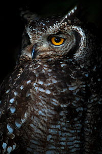 Portrait of an adult Spotted eagle owl (Bubo africanus) Table Mountain National Park, South Africa. - Neil Aldridge