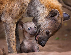 Spotted hyaena (Crocuta crocuta) reassuring her tiny pup at the entrance to their den,  Northern Tuli Game Reserve, Botswana.  -  Neil Aldridge