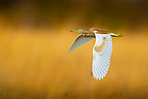 Squacco heron (Ardeola ralloides) flying over reedbeds, Selinda Spillway, northern Botswana. August.  -  Neil Aldridge