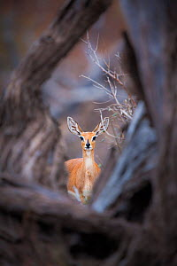 Steenbok (Raphicerus campestris) female standing framed by a fallen tree, Mapungubwe National Park, Limpopo Province, South Africa. - Neil Aldridge