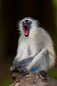 Vervet monkey (Chlorocebus pygerythrus) yawning while sitting on a fallen tree in forests, Limpopo River, Kruger National Park, South Africa.  -  Neil Aldridge