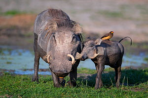 Warthog (Phacochoerus africanus) with a Yellow-billed oxpecker (Buphagus africanus) on its back, nuzzling its mother at a waterhole, Chief's Island, Okavango Delta, Botswana. - Neil Aldridge
