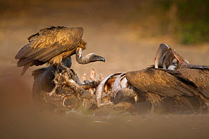 White-backed vultures (Gyps africanus) feed on a wildebeest carcass, Chobe, Botswana, August.  -  Neil Aldridge
