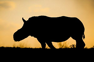 White rhinoceros (Ceratotherium simum)  female 'Thandi' silhouetted against the sunset, Kariega Game Reserve. South Africa. Thandi's horns were taken in a brutal attack by poachers. - Neil Aldridge