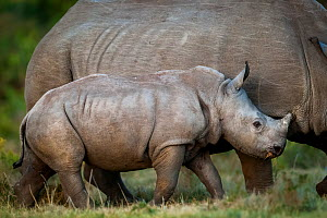 White rhinoceros (Ceratotherium simum) calf keeping close to its mother on Kariega Game Reserve, South Africa. - Neil Aldridge