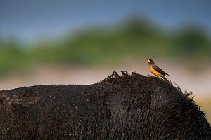 Yellow-billed oxpecker (Buphagus africanus) perched on the back of an African buffalo (Syncerus caffer) on the banks of the Chobe River, Chobe National Park, Botswana. - Neil Aldridge