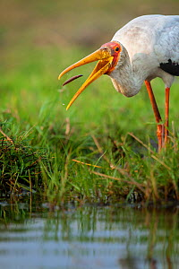Yellow-billed stork (Mycteria ibis) catching a young barbel or catfish in the shallows of the Chobe River, Chobe National Park, Botswana.  -  Neil Aldridge