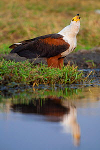 African fish eagle (Haliaeetus vocifer) standing on the banks of the Chobe River, Chobe National Park, Botswana.  -  Neil Aldridge