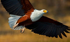 African fish eagle (Haliaeetus vocifer) flying, Selinda Spillway, northern Botswana.  -  Neil Aldridge